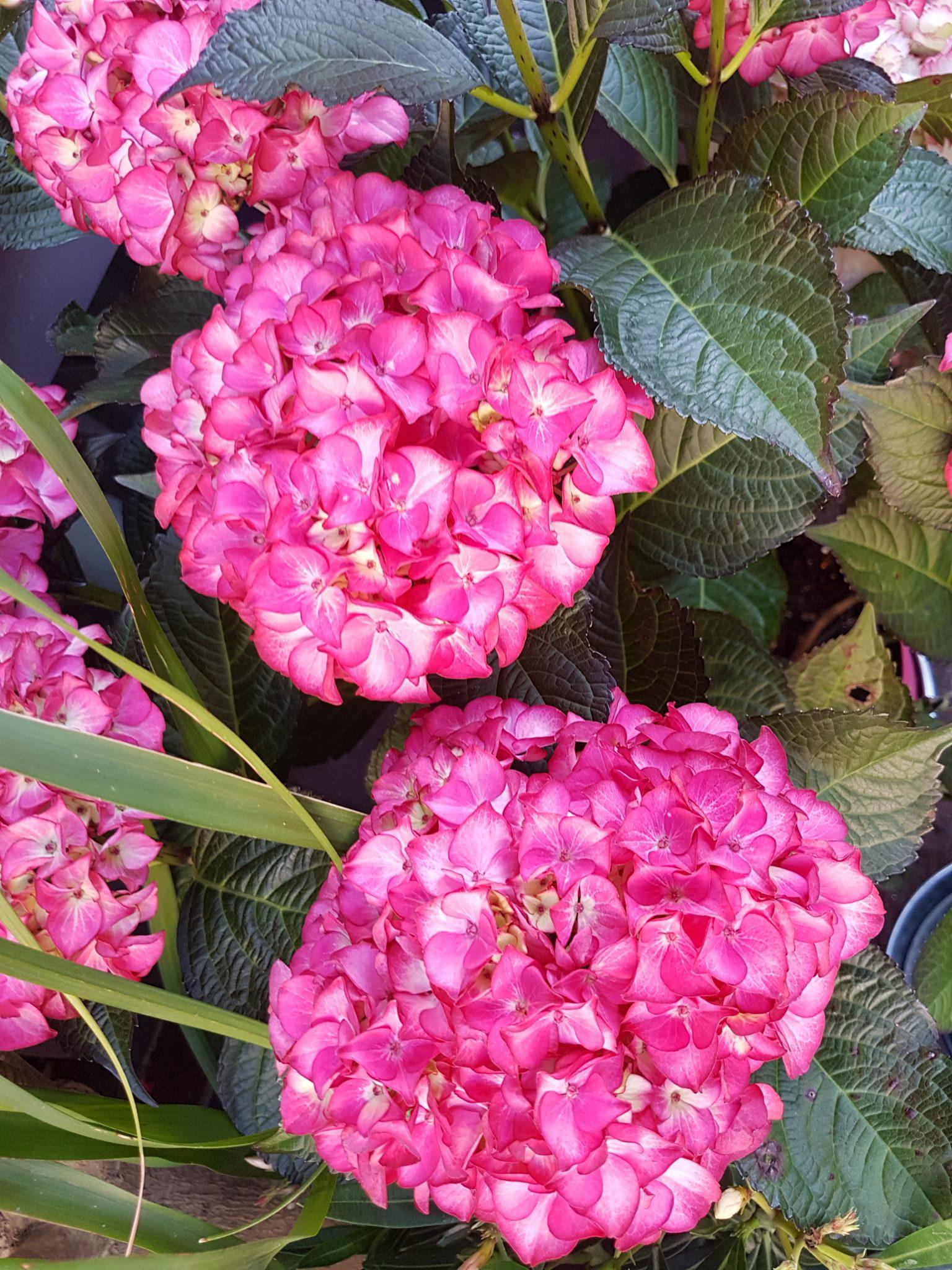 Arrivage d'hortensias ce weekend à la boutique !  Je vous ai trouvé de belles variétés aux pompons bien dodus !... [https://www.mariedanede.fr/blog/arrivages/arrivage-hortensias-30-mai-2020/]