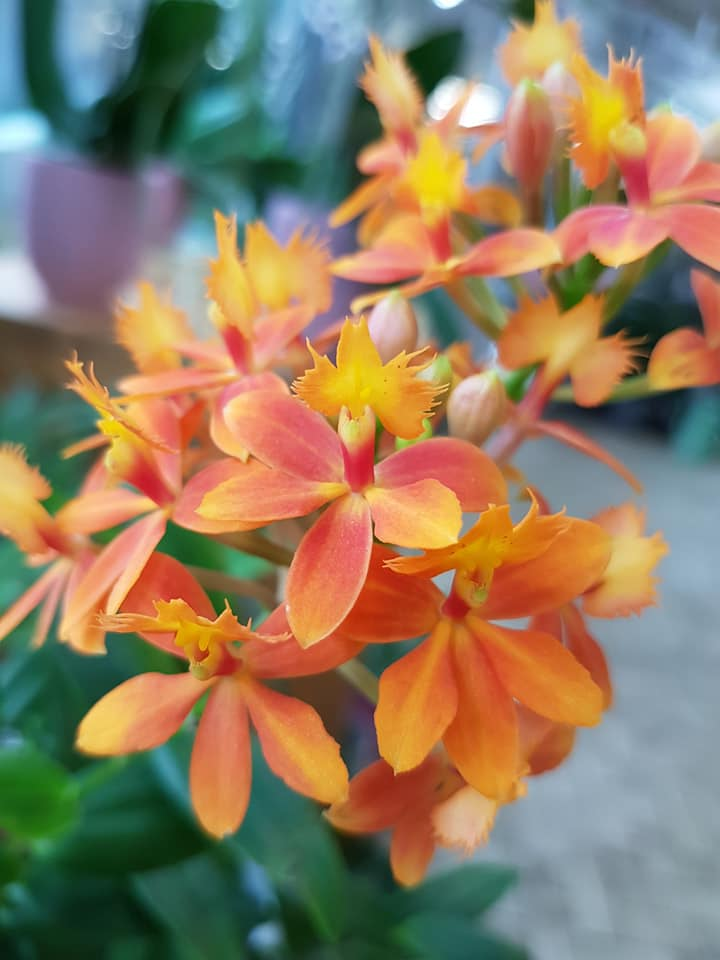 L'Epidendrum, une orchidée pas commune.... [https://www.mariedanede.fr/?p=3188]