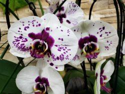 Les orchidées de Marie Danède