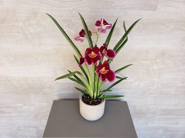 miltonia Marie Danède Art Floral et Cuiosités