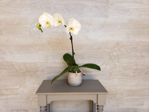 Orchidée Phalaenopsis Marie Danède