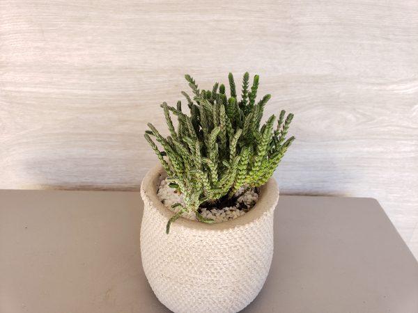 Plante grasse Marie Danède